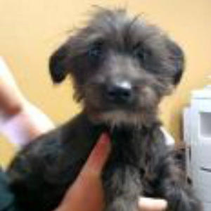 Terrier Mix Puppy Black