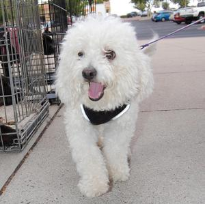 Cesar the Bichon -  Adopted!