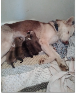 An exhausted Juneau and her Puppies!  5-5-17 Date of Birth